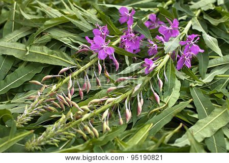 Leaves And Flowers Willow-herb (ivan-tea) After Gathering