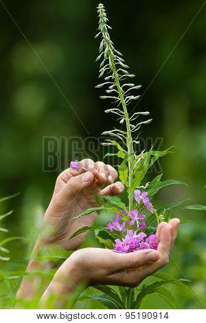 Hands Gathering Flowers Of Willow-herb (ivan-tea), Closeup