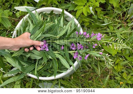 Hand Putting Willow-herb (ivan-tea) In The Bucket During Gatheri