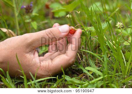 Hand Gathering Of Wild Strawberries