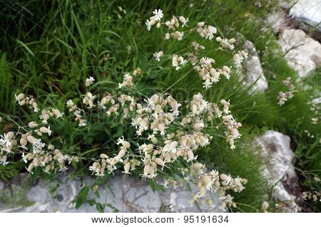 Bladder Campion Plants