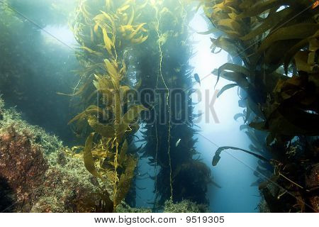 Underwater Kelp Forest Anacapa Island, California