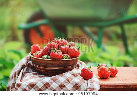 fresh organic home growth strawberries in summer garden in plate with wheelbarrow on background