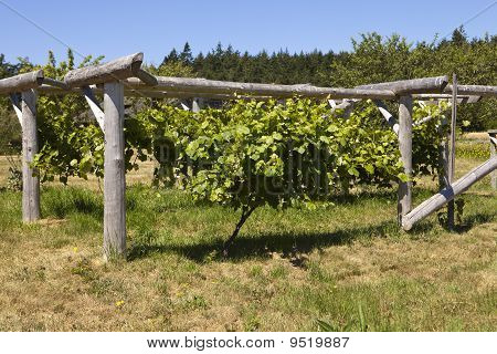 Grapevine On Wood Trellis