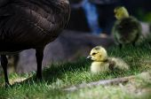 foto of mother goose  - Adorable Newborn Gosling Staying Close to Mom - JPG