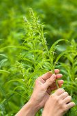 picture of willow  - women hands gathering flowers of willow - JPG