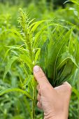 image of willow  - hands with bunch leaves of willow - JPG