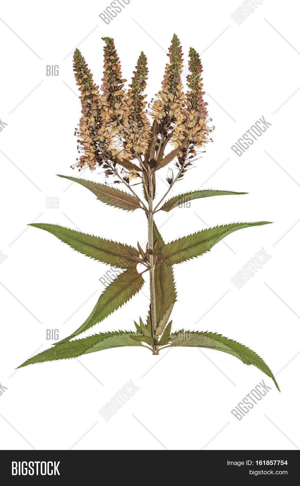 How to scrapbook dried flowers - Pressed And Dried Flowers Veronica Spicata Isolated On White Background For Use In Scrapbooking