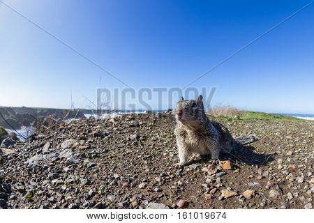 Coastal Ground Squirrel