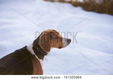 Hunter dog with winter background. Free space fore advertising goods or text.