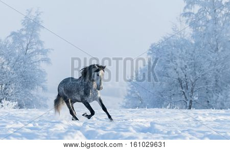 Beautiful winter landscape with snow covered trees. Galloping grey purebred Spanish horse