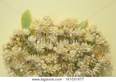 warm summer background with fresh picked linden flowers