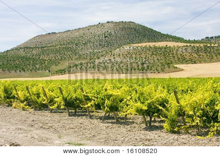 vineyard near Villabanez, Valladolid Province, Castile and Leon, Spain