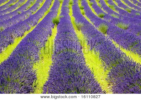 lavanda campo, meseta de Valensole, Provence, Francia