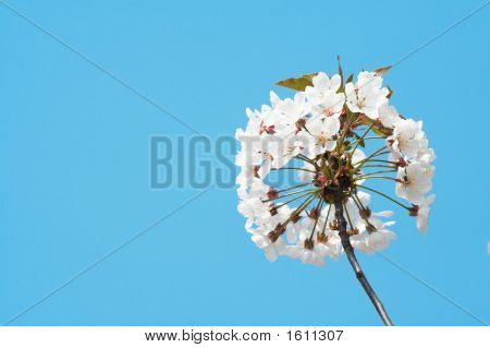 Cherry Tree Flower Bloom