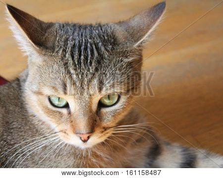 Angry female tabby young cat with green eyes portrait