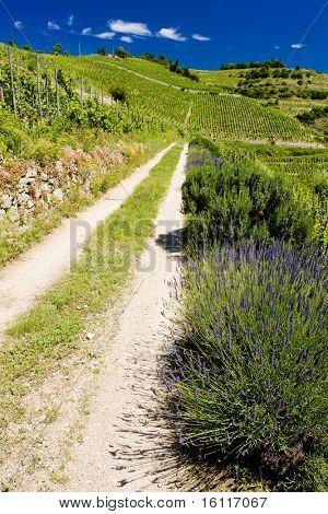 grand cru vineyard, Hermitage, Rh?ne-Alpes, France