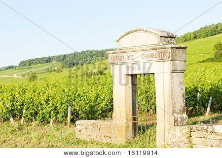 Latricieres vineyard, Chambertin, Cote de Nuits, Burgundy, France