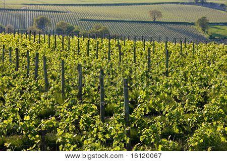 vineyards near Montsoreau, Pays-de-la-Loire, France