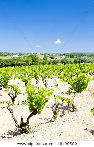 vineyards near Bandol, Provence, France