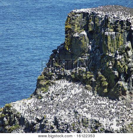 birds colony, Rathlin Island, County Antrim, Northern Ireland