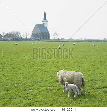 sheep with a lamb, Den Hoorn, Texel Island, Netherlands