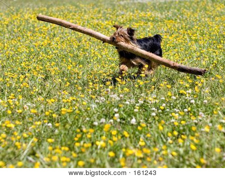 Little Dog With Big Stick