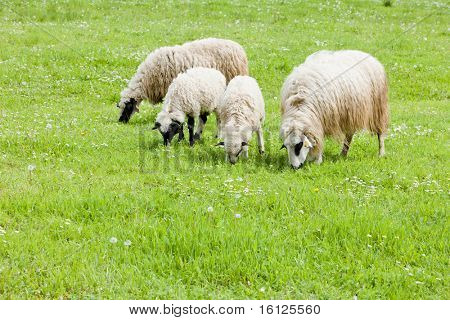 sheep on meadow, Bosnia and Herzegovina