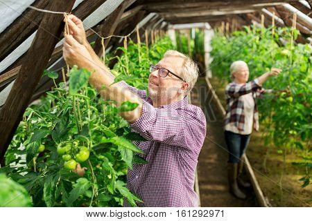 farming, gardening, old age and people concept - senior man and woman tying up tomato seedlings at greenhouse on farm
