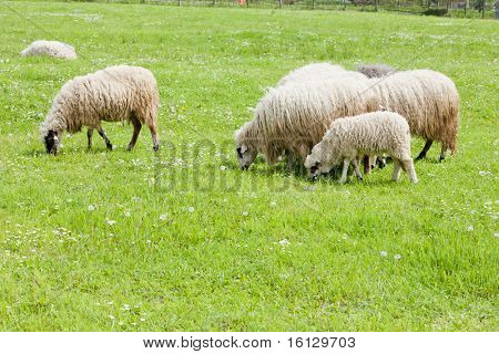 sheep on meadow, Bosnia and Hercegovina