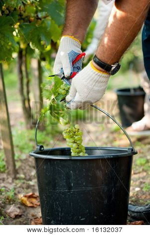Grape harvesting in the vineyard