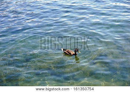 A mallard duck (Anas platyrhynchos) swims in the water at the Zorn Park Public Beach near downtown Harbor Springs, Michigan.