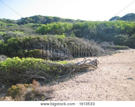 Distorted Bush By The Strong Sea Coast Wind, Porquerolles Island, Azur Coast, South Of France