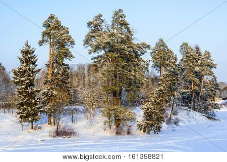 Pine Trees On The Shore Of A Frozen Pond