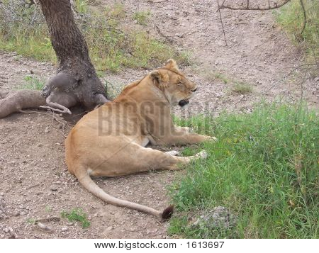 Lion Having A Rest Under A Tree, Serengeti Park, Tanzania