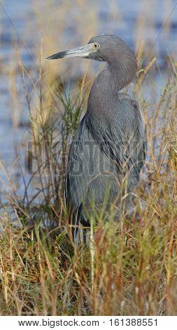 Little Blue Heron - Merritt Island Wildlife Refuge, Florida