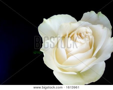 White Rose On Black