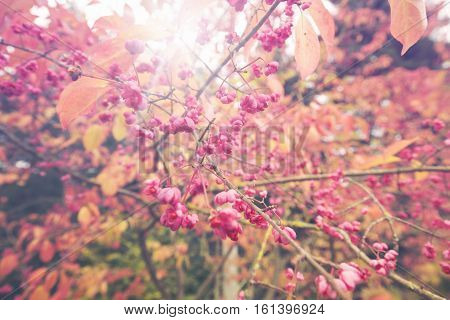 Pink Fruiting Capsules of the Spindle Tree on Blurry Background