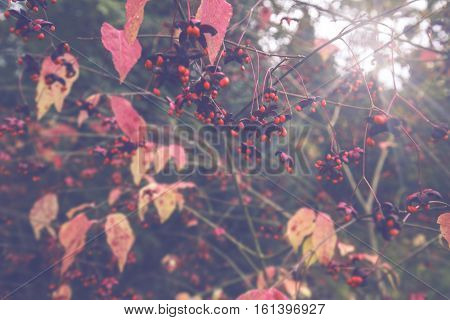 Red Seeds of the Large Leaved Spindle Tree