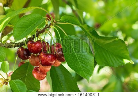 bunch of juicy cherries ripening on cherry tree in cherry orchard