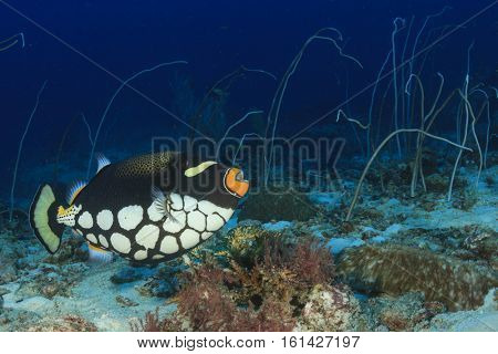 Clown Triggerfish fish on coral reef