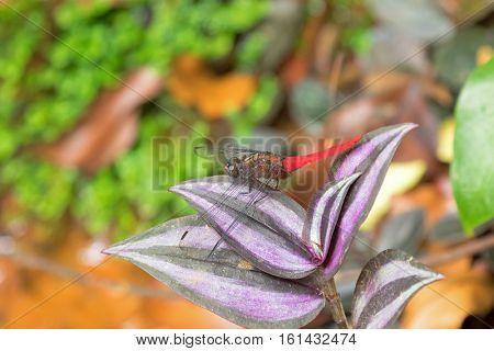 Spine-tufted Skimmer dragonfly, Crimson-tailed Marsh Hawk (Orthetrum chrysis) on Inchplant, Wandering jew (Tradescantia zebrina Hort ex Boss)