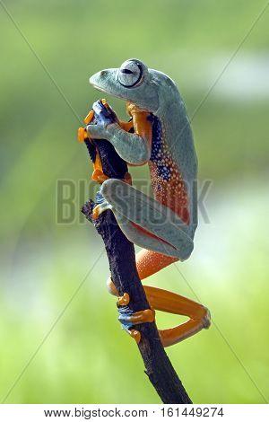 Tree frog, beautiful Javan tree frog monitoring on the branch