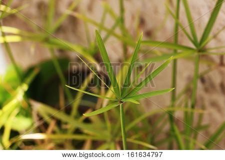 A great shot of Cyperus alternifolius, with the common names of umbrella papyrus, umbrella sedge or umbrella palm