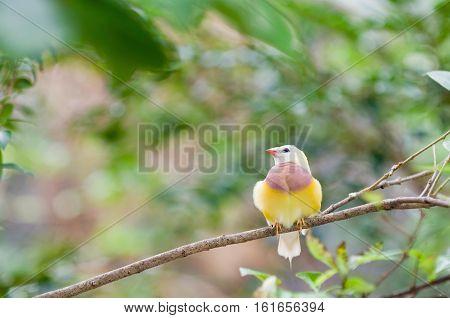 Juvenile Gauldian Finch