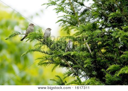 Sparrow With Young