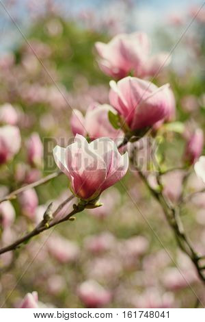 Blossoming of magnolia flowers in spring time, retro vintage hipster image