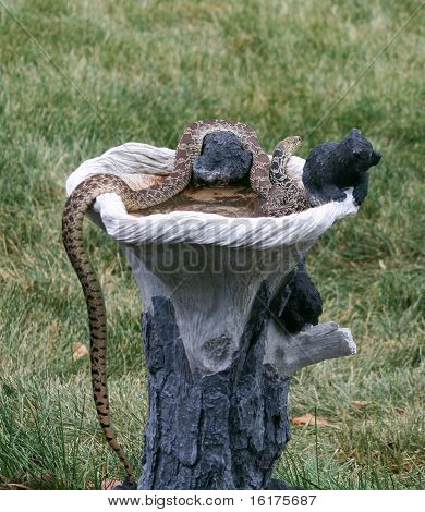 Bullsnake in Birdbath (full view)