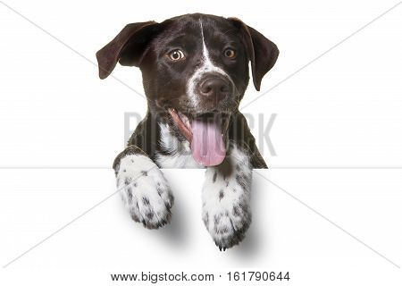 Cute Puppy with paws over white sign. Catahoula Lab Mix Dog