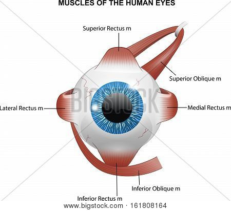 Vector illustration of Muscles of the human eyes